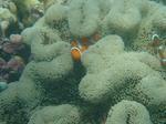 ニモと珊瑚